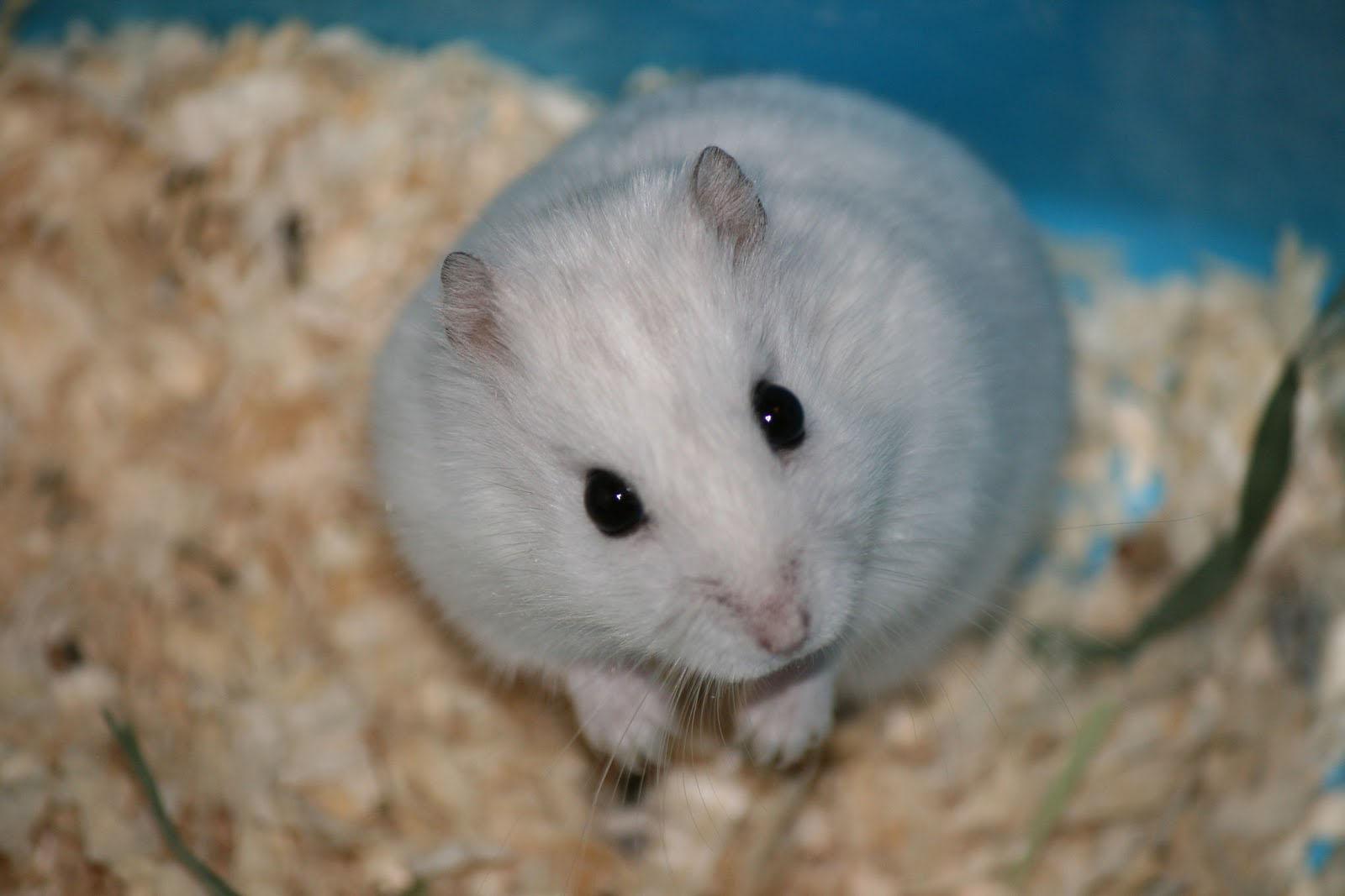 Hamsters achtergronden dieren hd hamster wallpapers foto 19jpg 1600x1067
