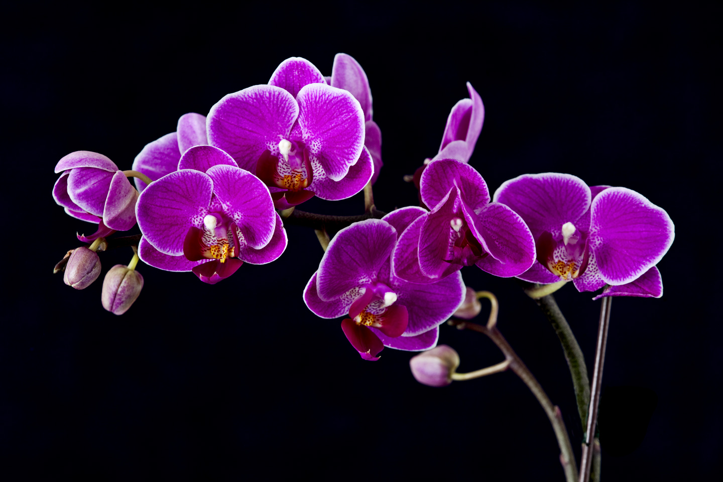 Purple Orchid Flowers flowers Pinterest Black 1440x960