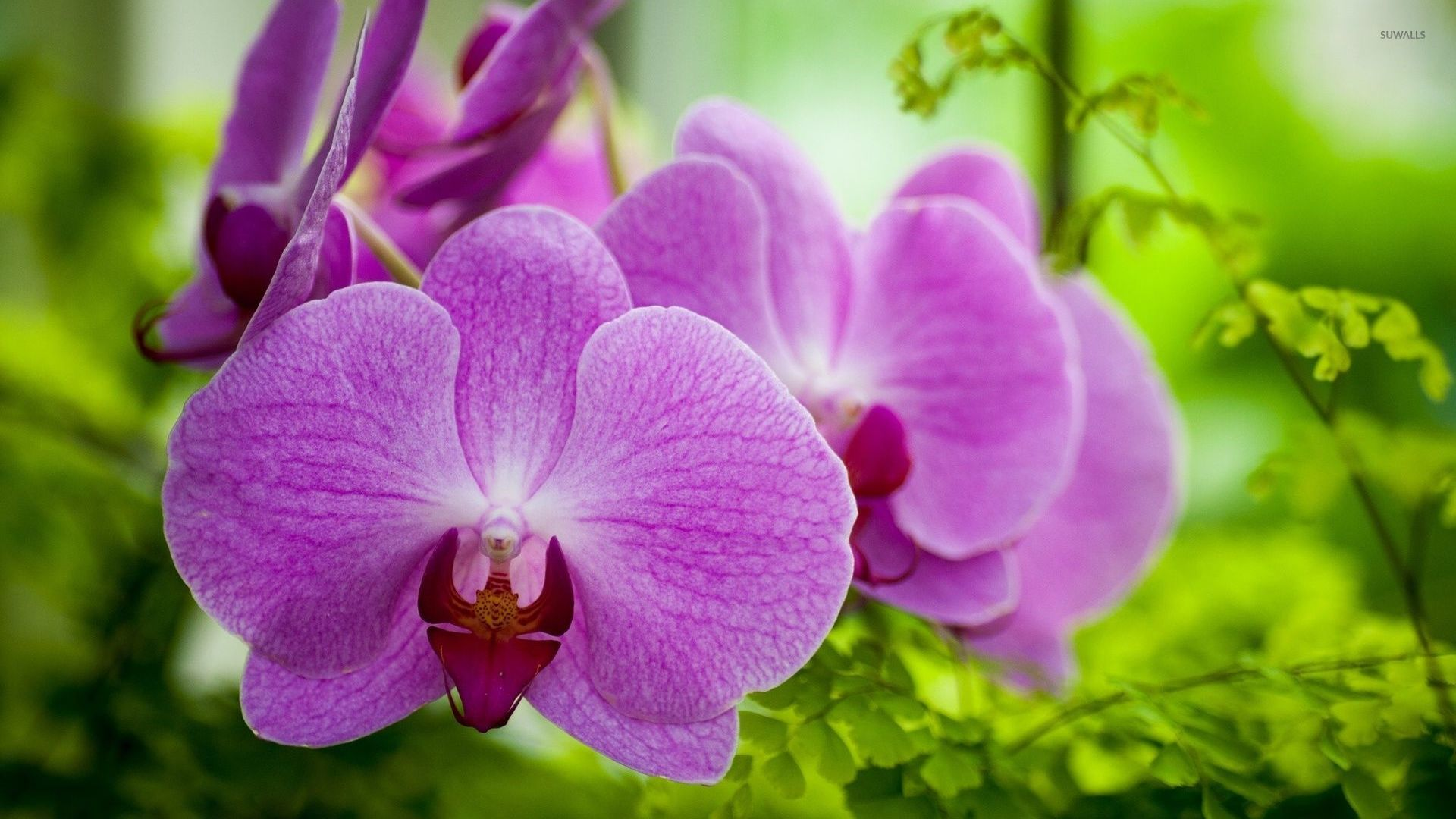 Purple orchid wallpaper   Flower wallpapers   34317 1920x1080