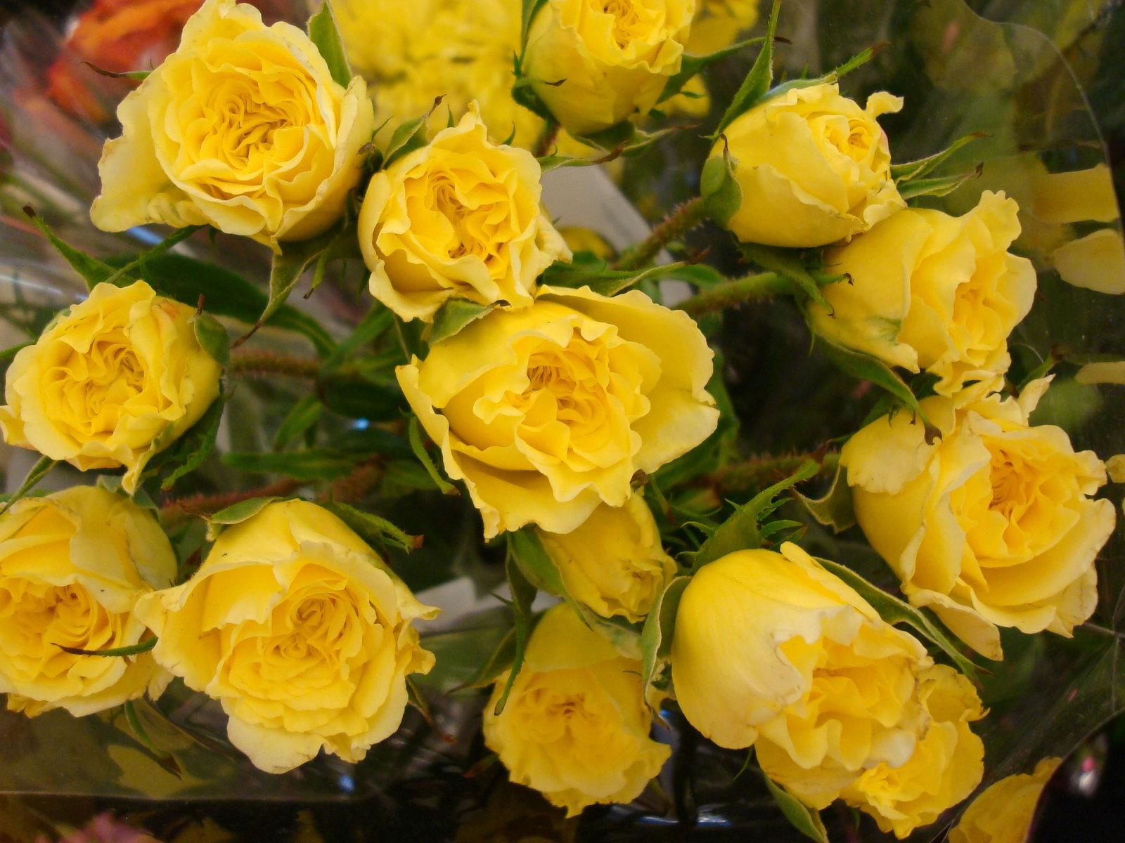 Yellow Rose Wallpaper Flowers Nature Wallpapers Source Free WallpaperSafari