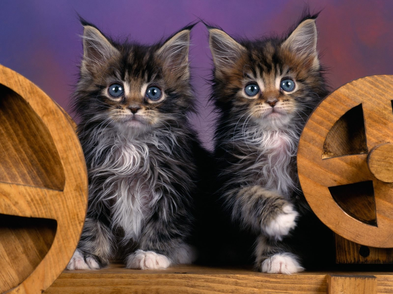 HQ Maine Coon Kittens 1 Wallpaper   HQ Wallpapers 1600x1200