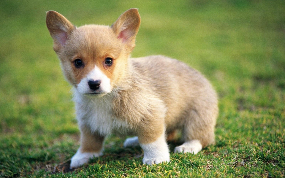 Cute Puppy Pictures for Wallpaper Download 960x600