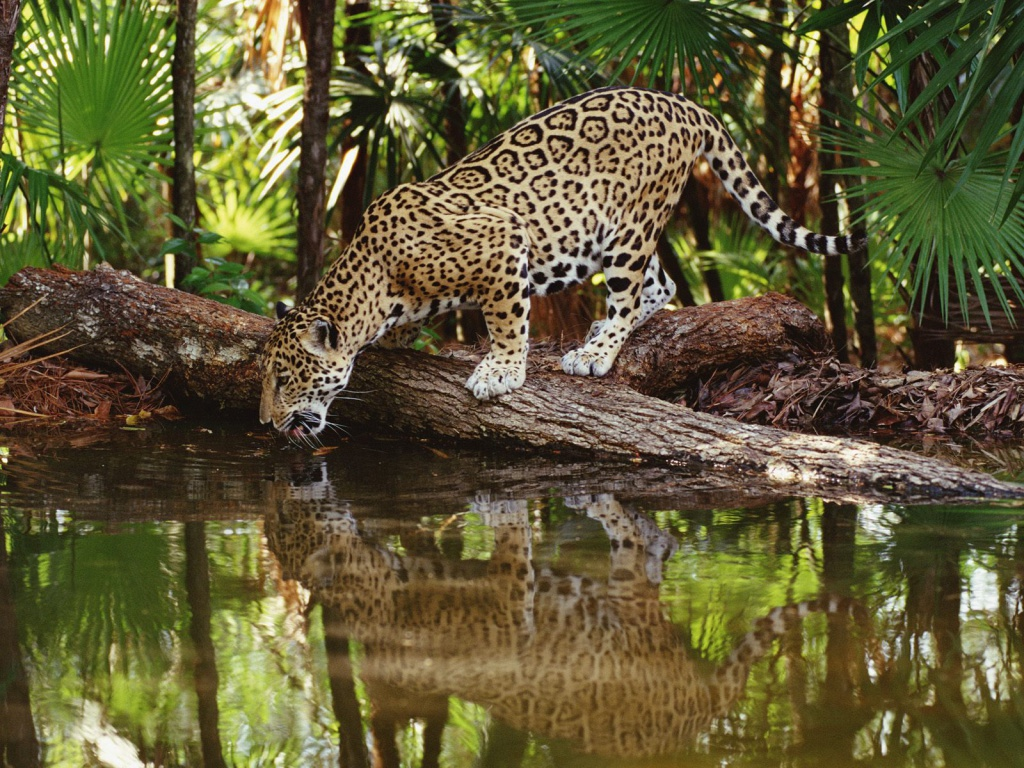 Safari leopard animal pictures photos in 1024x768 resolution Animal 1024x768