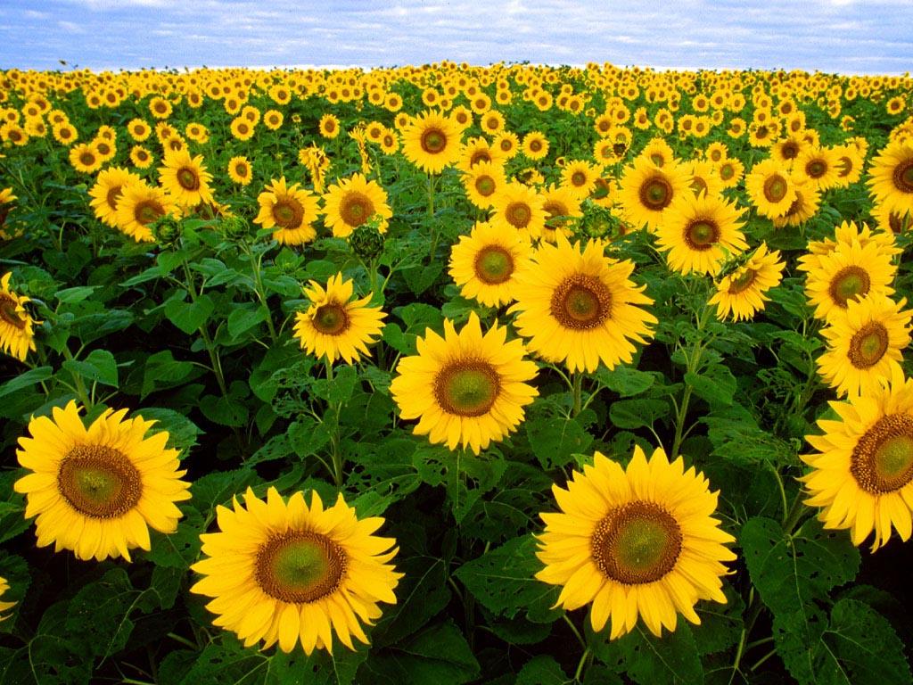 Sun flower wallpaper hd wallpaperswidescreen desktop backgrounds 1024x768