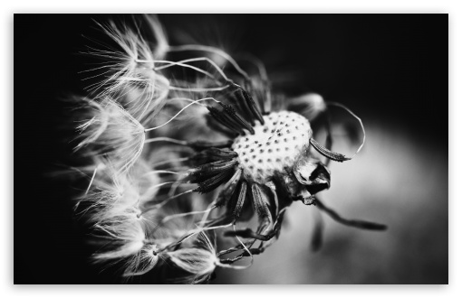 Dandelion Black and White HD wallpaper for Standard 43 54 Fullscreen 510x330