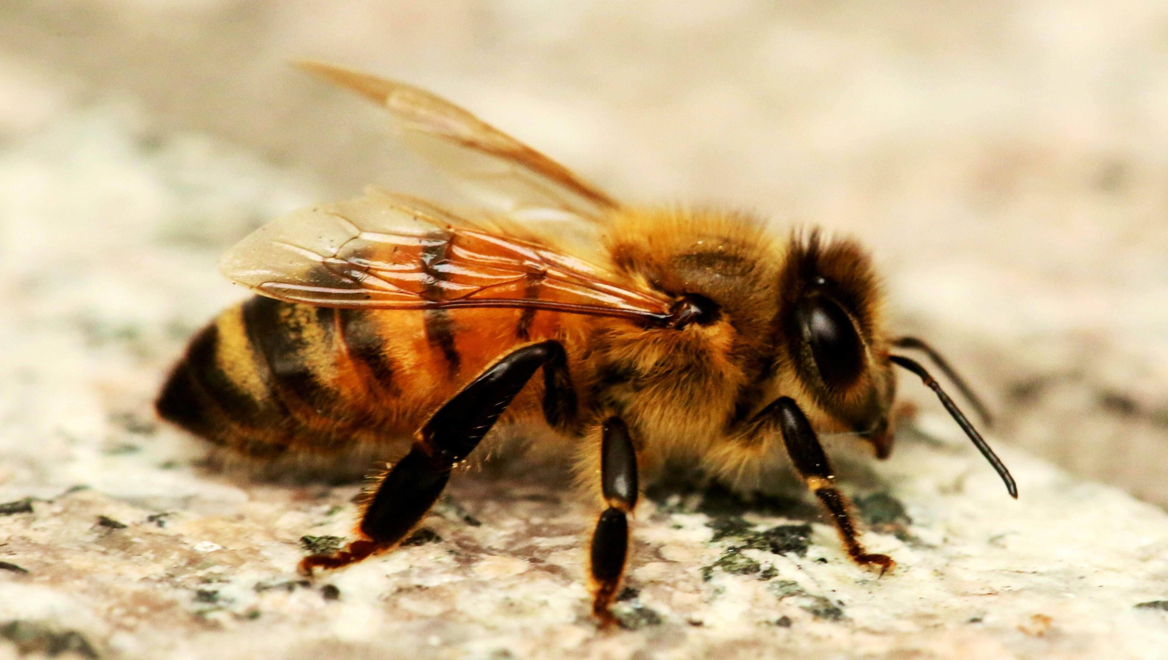 Honey Bee HD Wallpapers HD Wallpapers 3920x2216