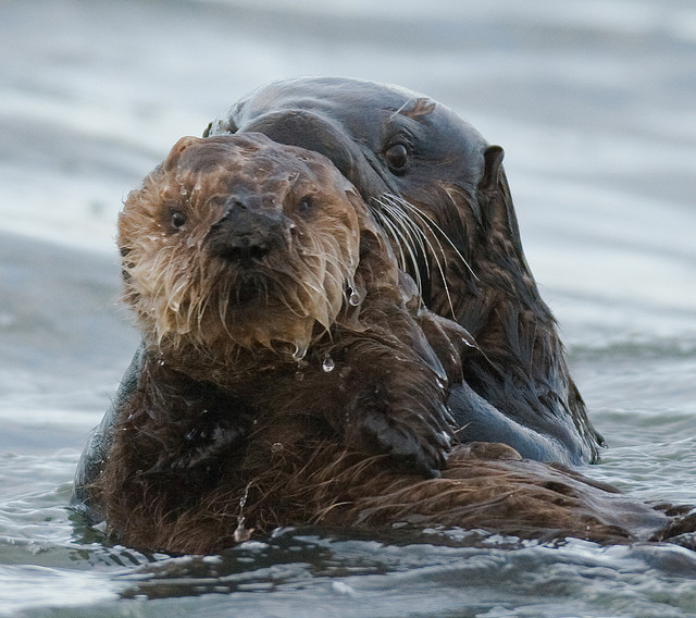 And Baby Sea Otter Wallpaper 640 X 568 197132 HD Wallpaper 640x568