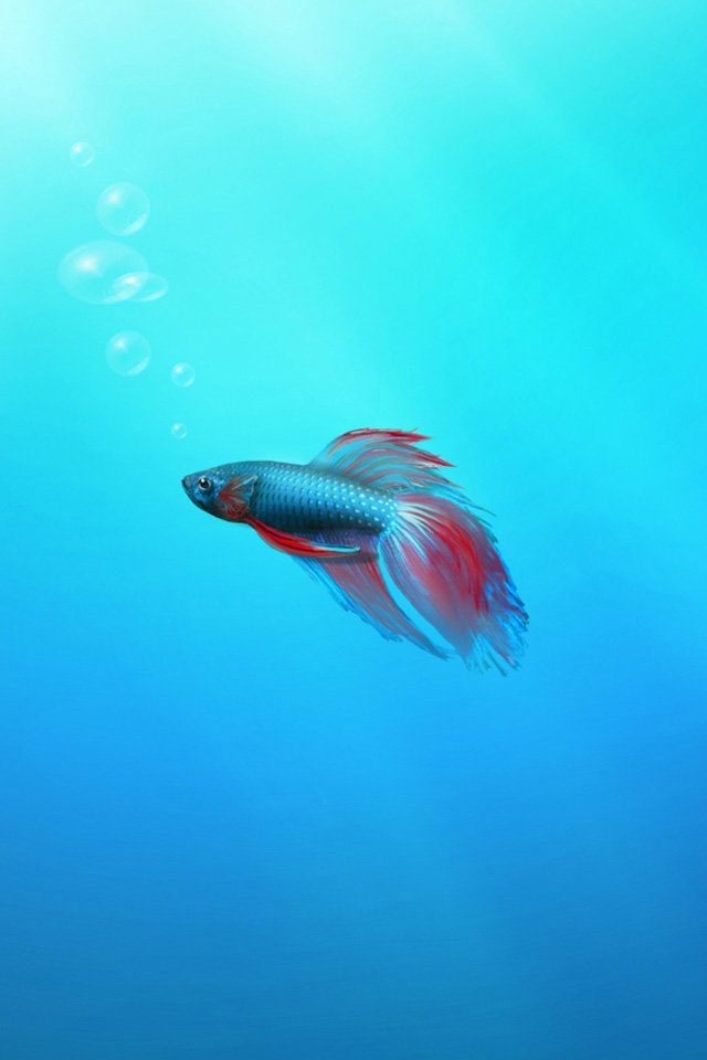 Betta Fish iPhone Wallpaper HD 640x960