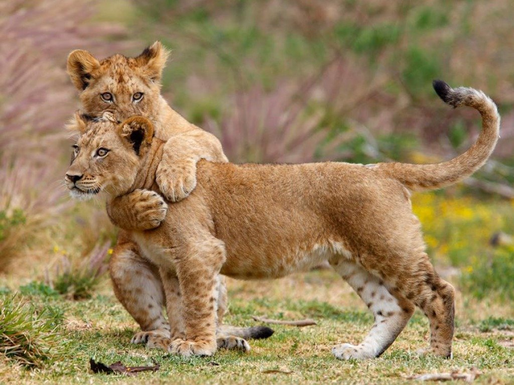 Two Lion Cubs Wallpaper 1024x768
