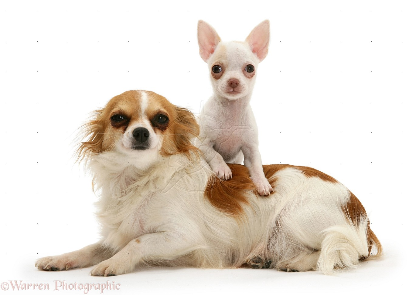 Free download Chihuahua puppies pics