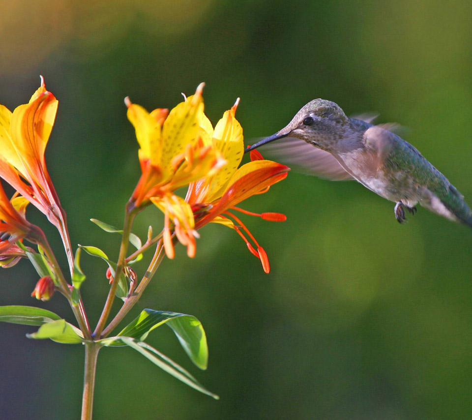 for flower lovers Flowers and humming birds desktop wallpapers 960x854