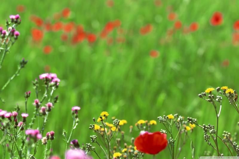 Field Of Spring Flowers Hd Desktop High Definition Wallpaper Full Size 800x533