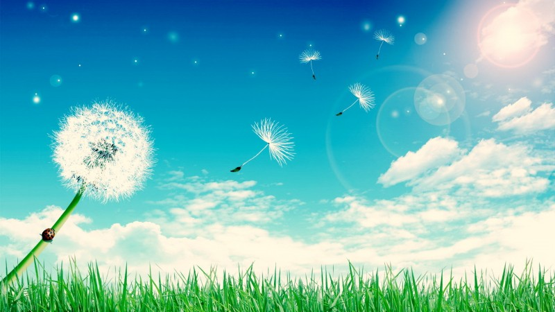 Ladybug Crawling up Dandelion as Seeds Blow Away   Download Wallpaper 800x450