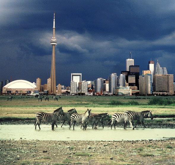Torontonightskylinewallpaper 590x557