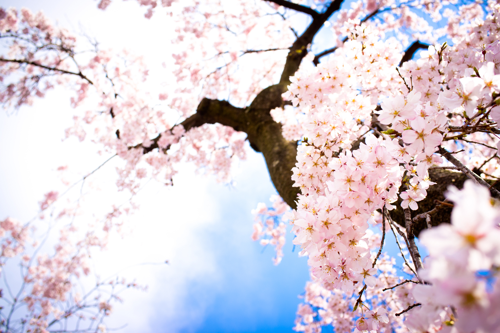 Beautiful Pink Cherry Blossom Wallpaper - Colors Photo (34590472 ...