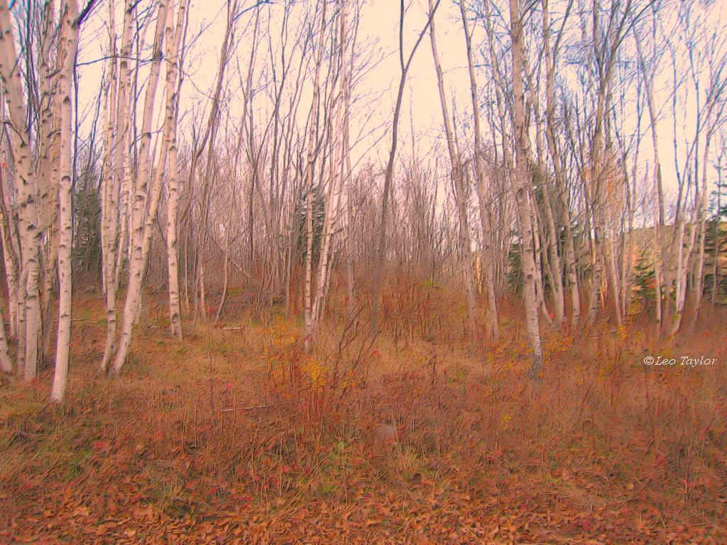 Birch trees   1024x768 1024x768