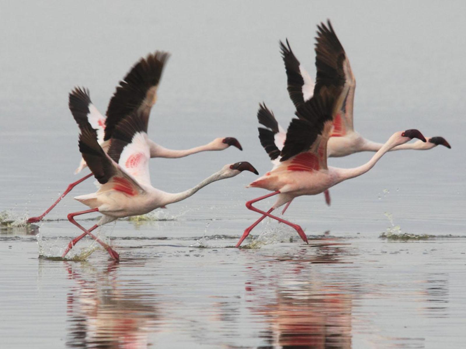Keywords Flamingo Wallpapers Flamingo DesktopWallpapers Flamingo 1600x1200