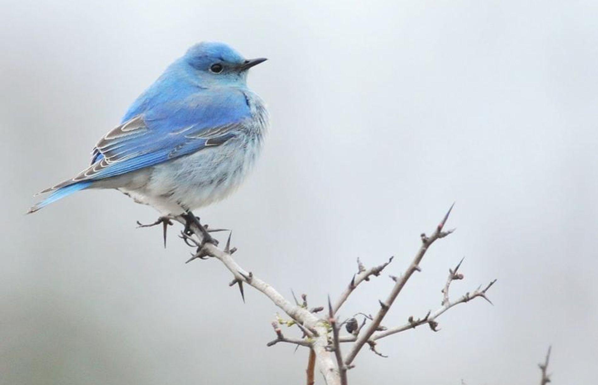 Blue Bird Wallpapers 1900x1223