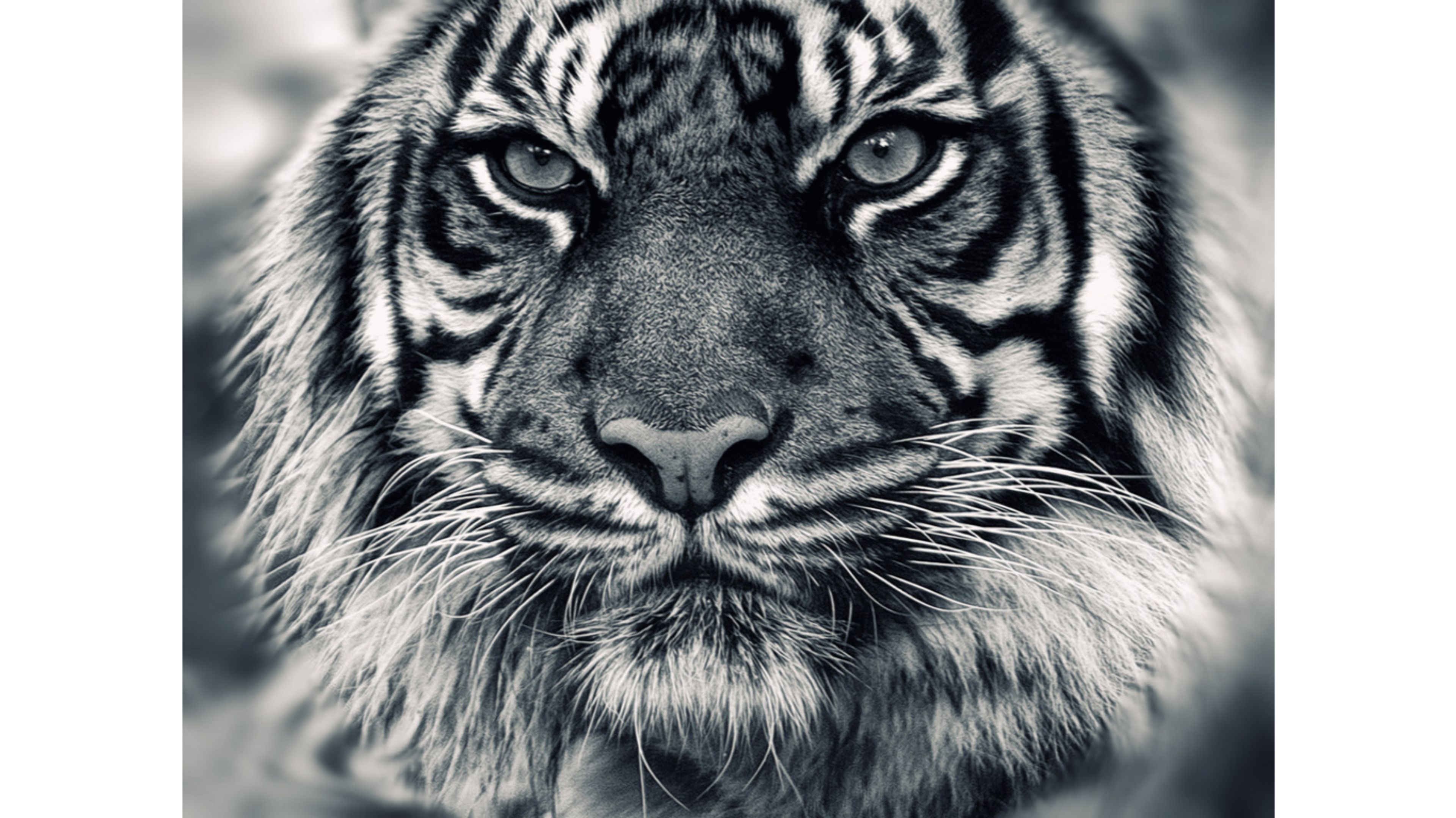 3840x2160px White Siberian Tiger Wallpaper - WallpaperSafari