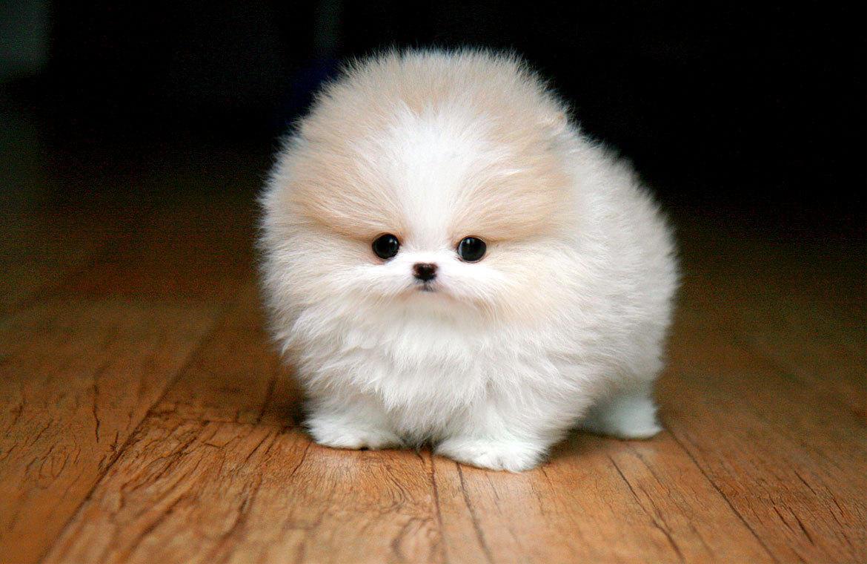 Teacup White Pomeranian Dog Wallpaper 1170x760