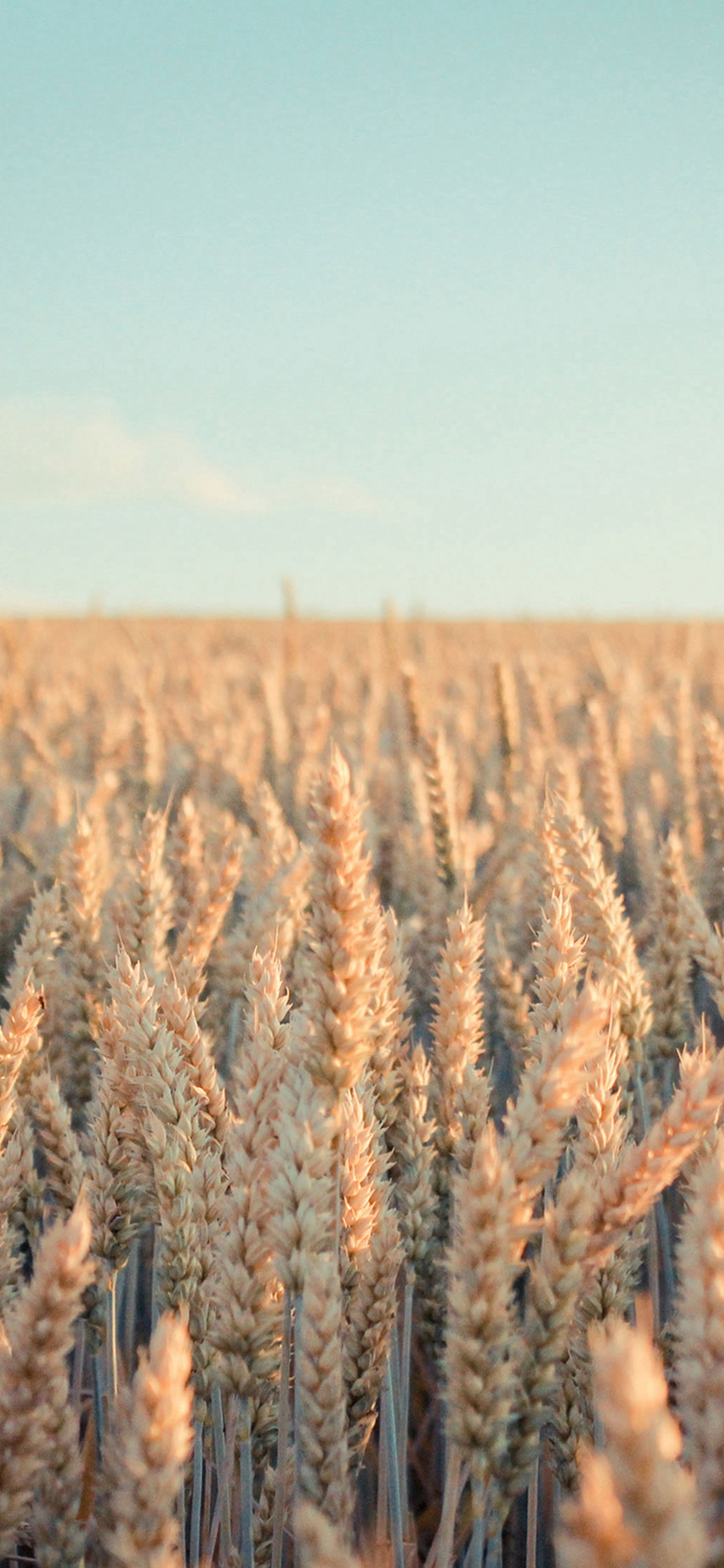 Nature Rye Field Farmland iPhone Wallpapers Download 1125x2436