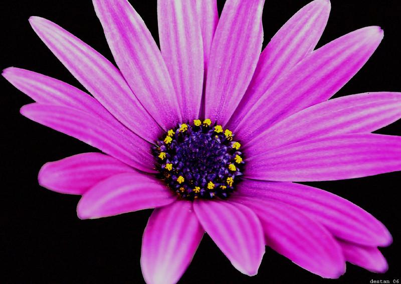 purple daisy phone wallpaper by brandiwig84 800x566