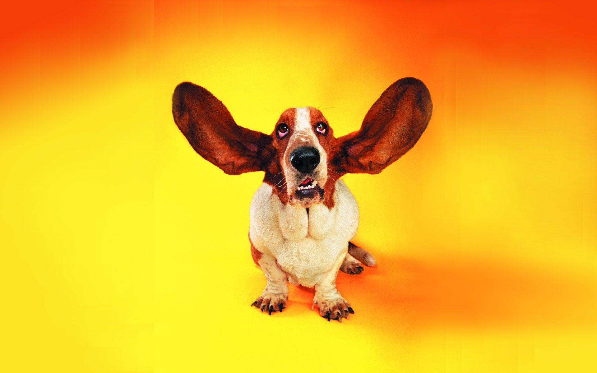 I AM LISTENING Cute Animal pics Funny dogs Dog 1920x1200