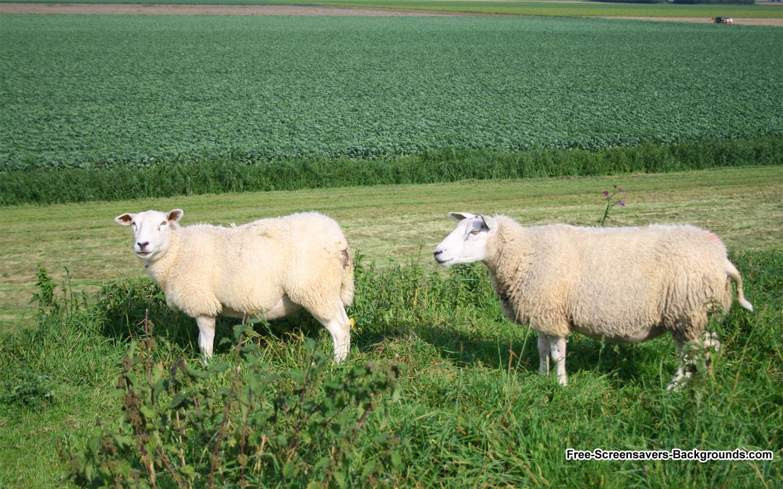 sheeps 1440x900