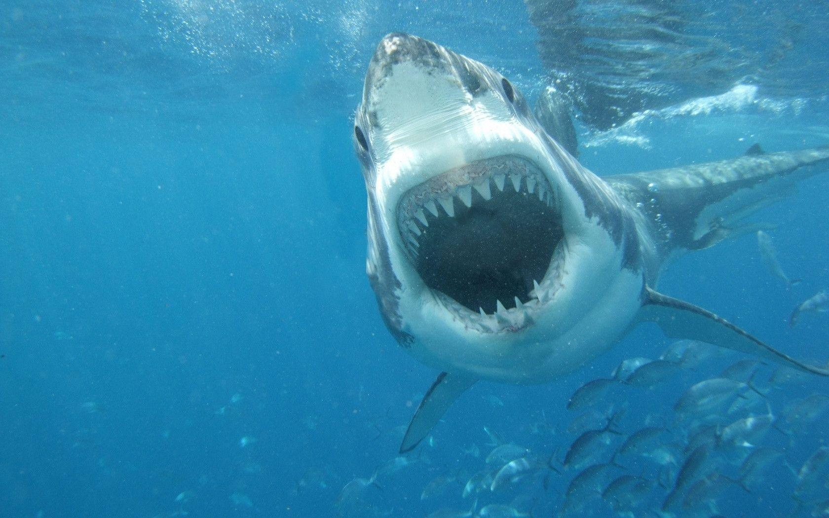 Great White Shark Wallpapers   Top Great White Shark 1680x1050