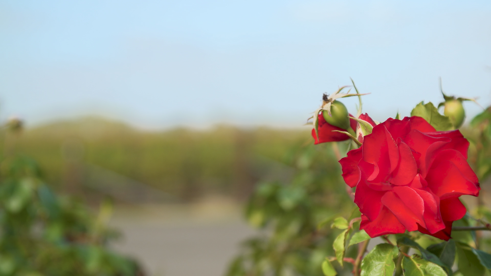 [HD] Grapevines in background shifting focus to red rose in foreground 1920x1080