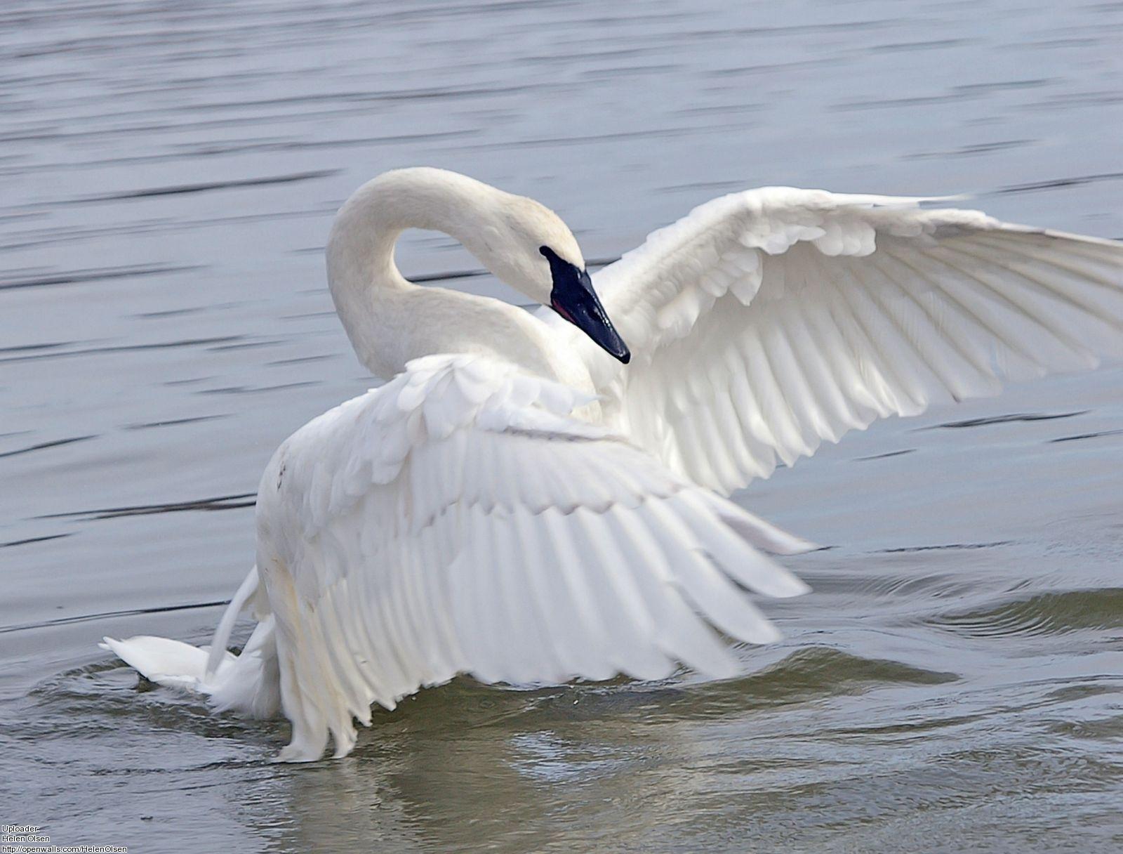 Swan Wallpapers 1600x1216