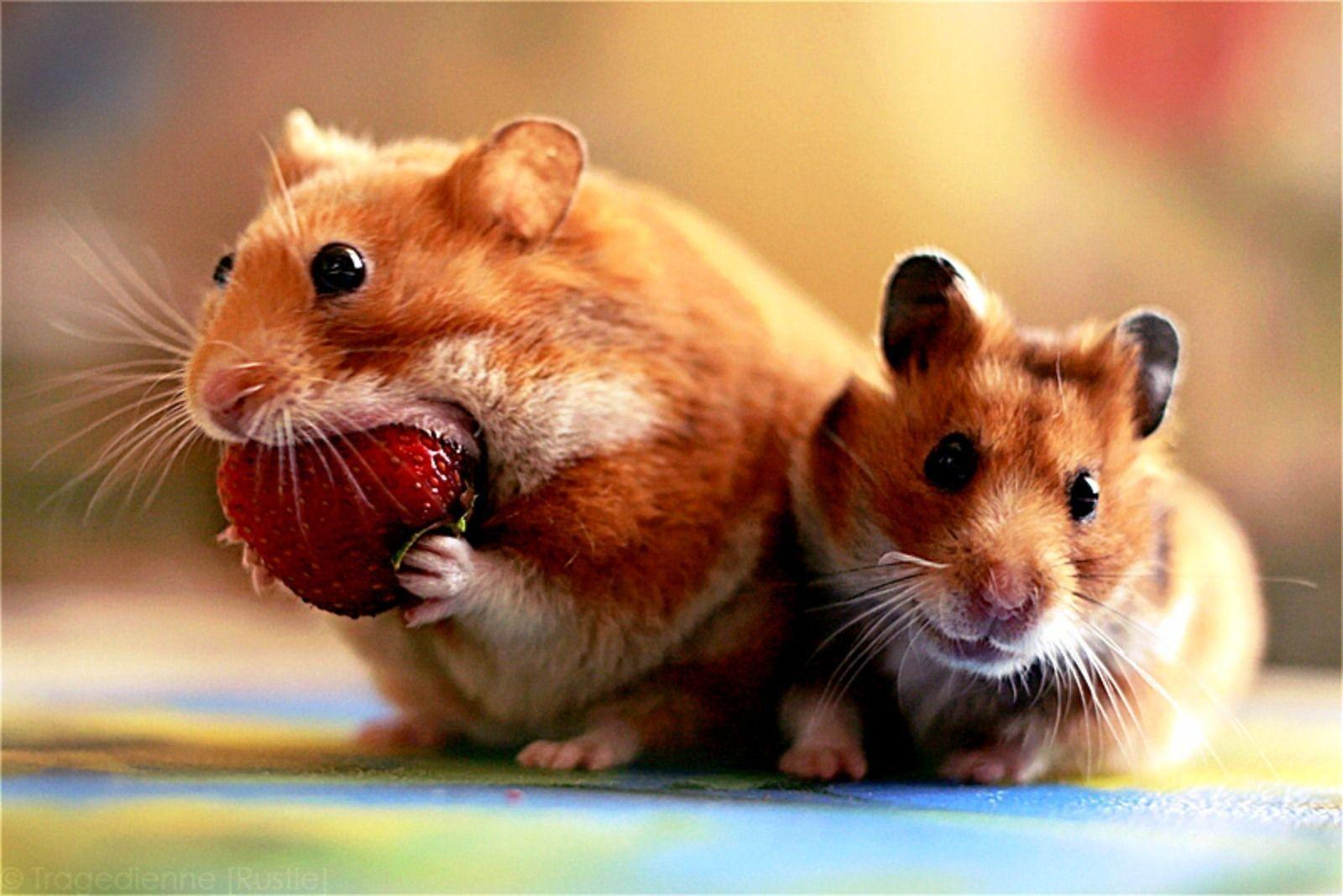 Cute Hamster Wallpapers 1600x1068