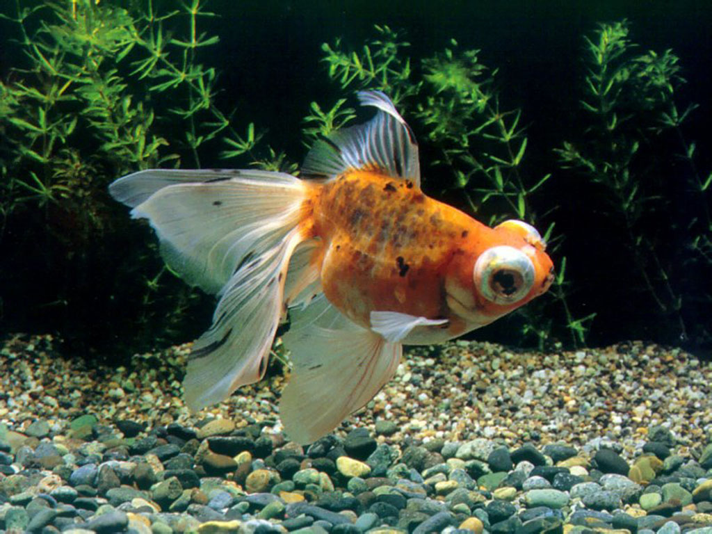 Chinese Goldfish Wallpaper 1024x768 Chinese goldfishpet goldfishgold 1024x768