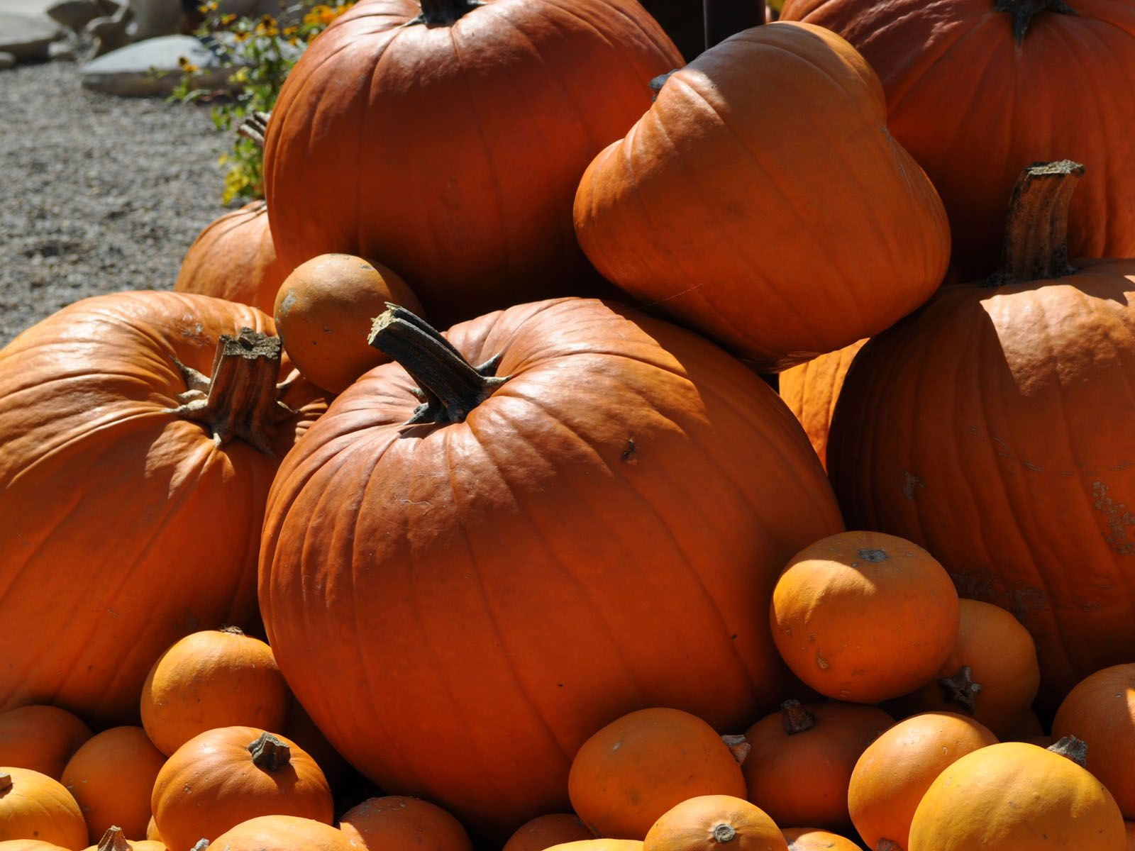 Download Pumpkins Wallpaper and Backgrounds 1600x1200