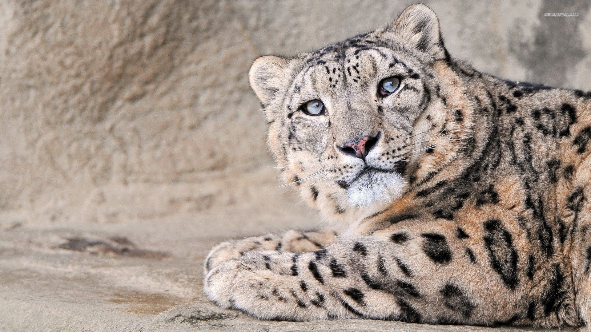 Snow Leopard Wallpapers HD Pictures One HD Wallpaper 1920x1080