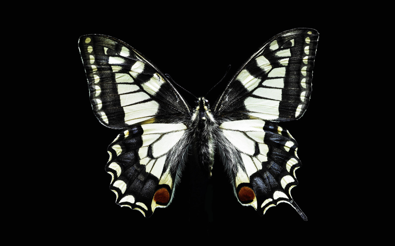 Funny Image Collection Pink Butterfly Black Glitter image 1280x800