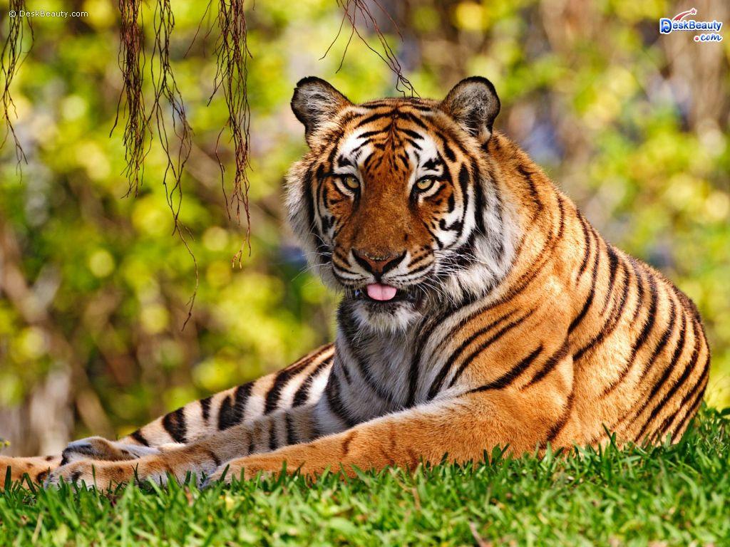 Cute Tiger Animal Wallpaper   Best Wallpapers 1024x768
