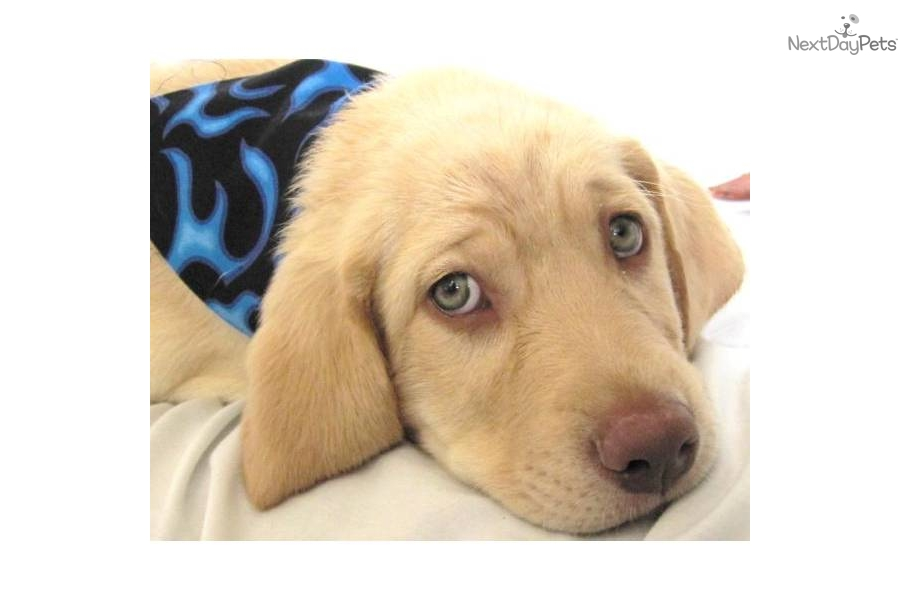 purebred yellow lab puppydog labrador retriever puppy d0b2a163 15d0 900x600