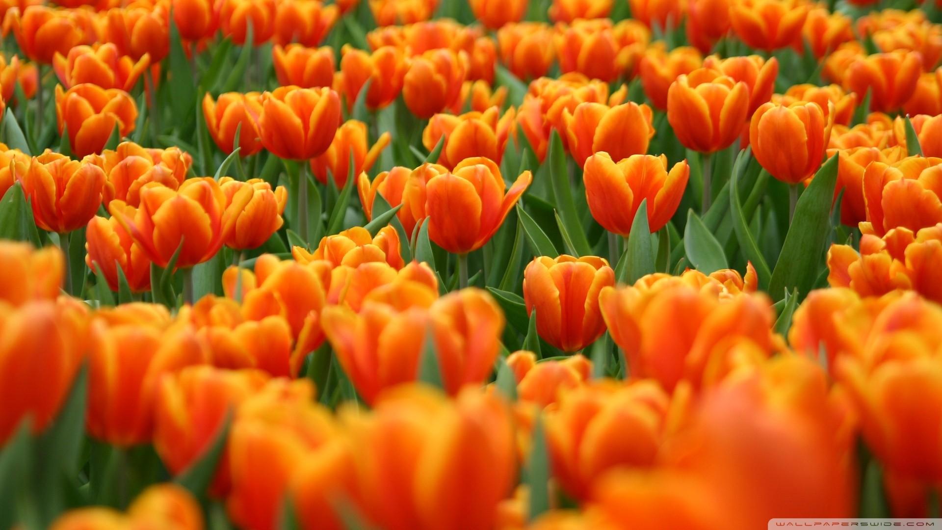 Orange Tulips Spring Flowers Wallpaper Desktop Wallpapers   Spring 1920x1080