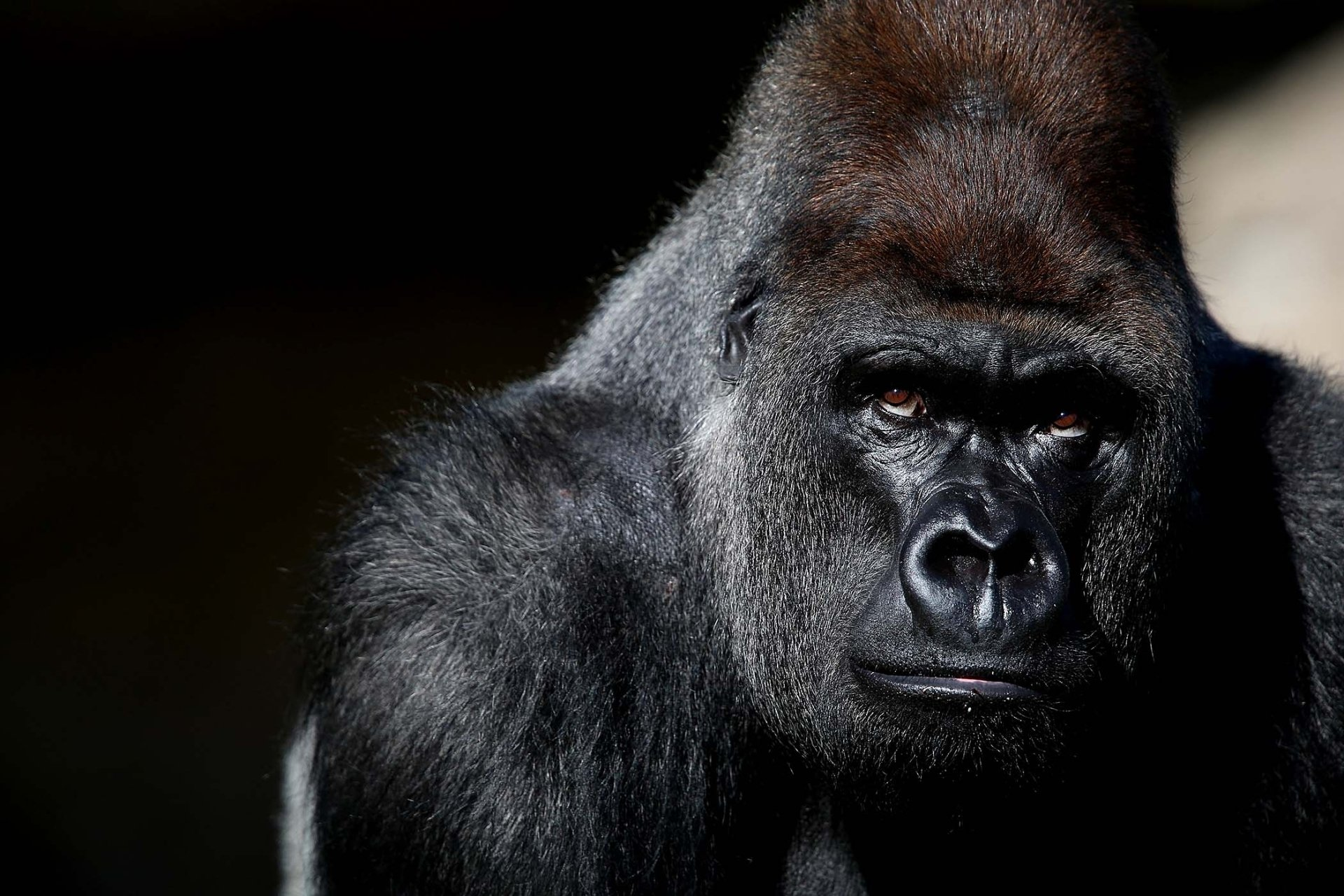 117 Gorilla HD Wallpapers Background Images 1920x1280
