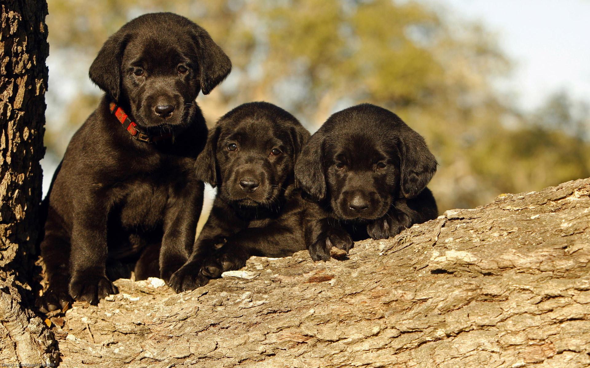 Black Labrador Puppy HD Wallpaper Download HD Wallpapers for Desktop 1920x1200