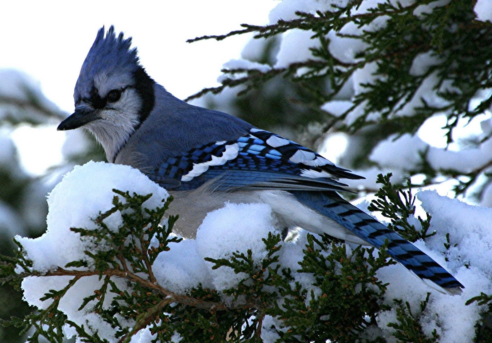 blue jay bird wallpaper Subham Dey 1600x1117