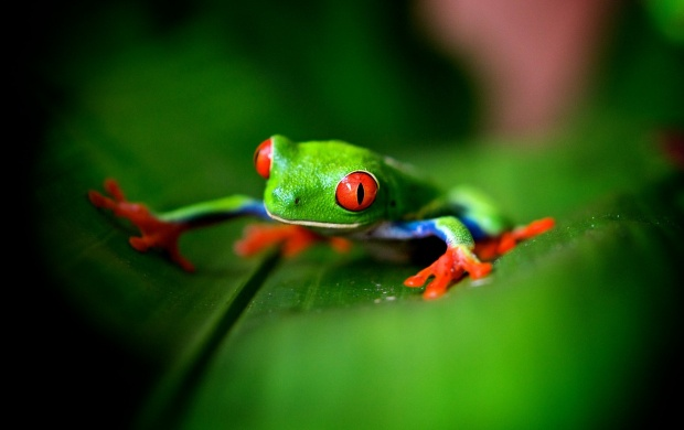 Cute Green Frog wallpapers 620x390
