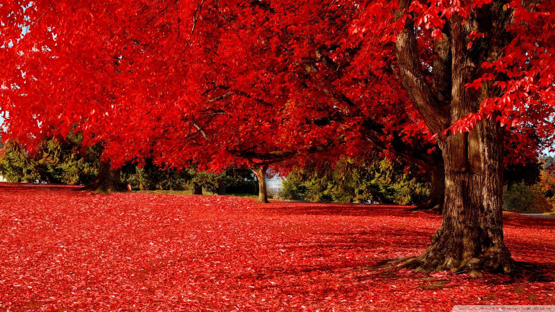 Wallpaper Red Autumn 2 Wallpaper 1080p HD Upload at February 16 1920x1080