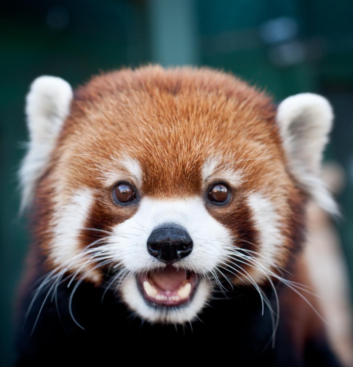 Cute Red Panda Wallpaper HD Panda Cute Cute Red Panda Cute Red 1153x1200