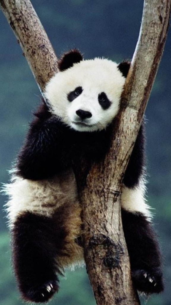 Panda On The Tree Wallpaper   iPhone Wallpapers 576x1024