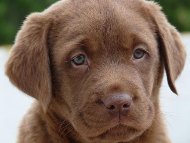 chocolate lab puppy eyes   Labradors Picture 625x469