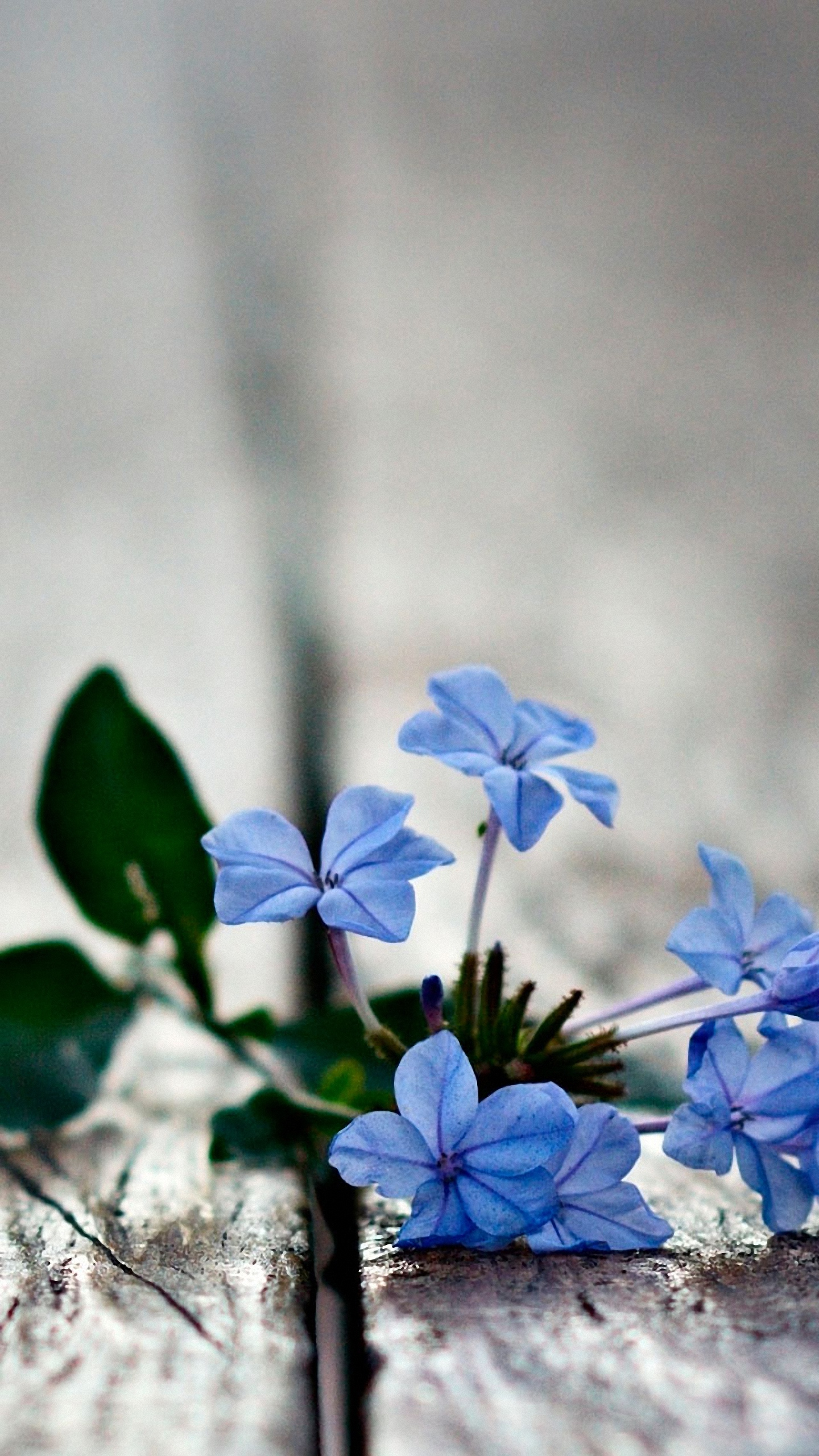 Blue Flowers mobile phone Wallpapers HD 1440x2560 1440x2560