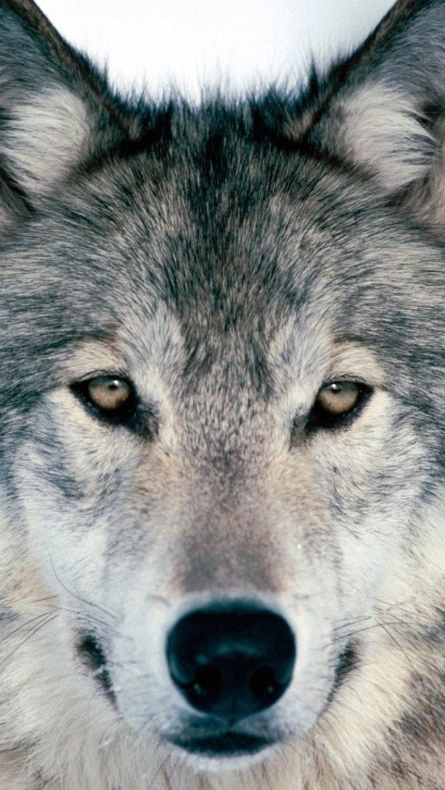 Wolf Wallpaper Iphone Images Pictures   Becuo 640x1136