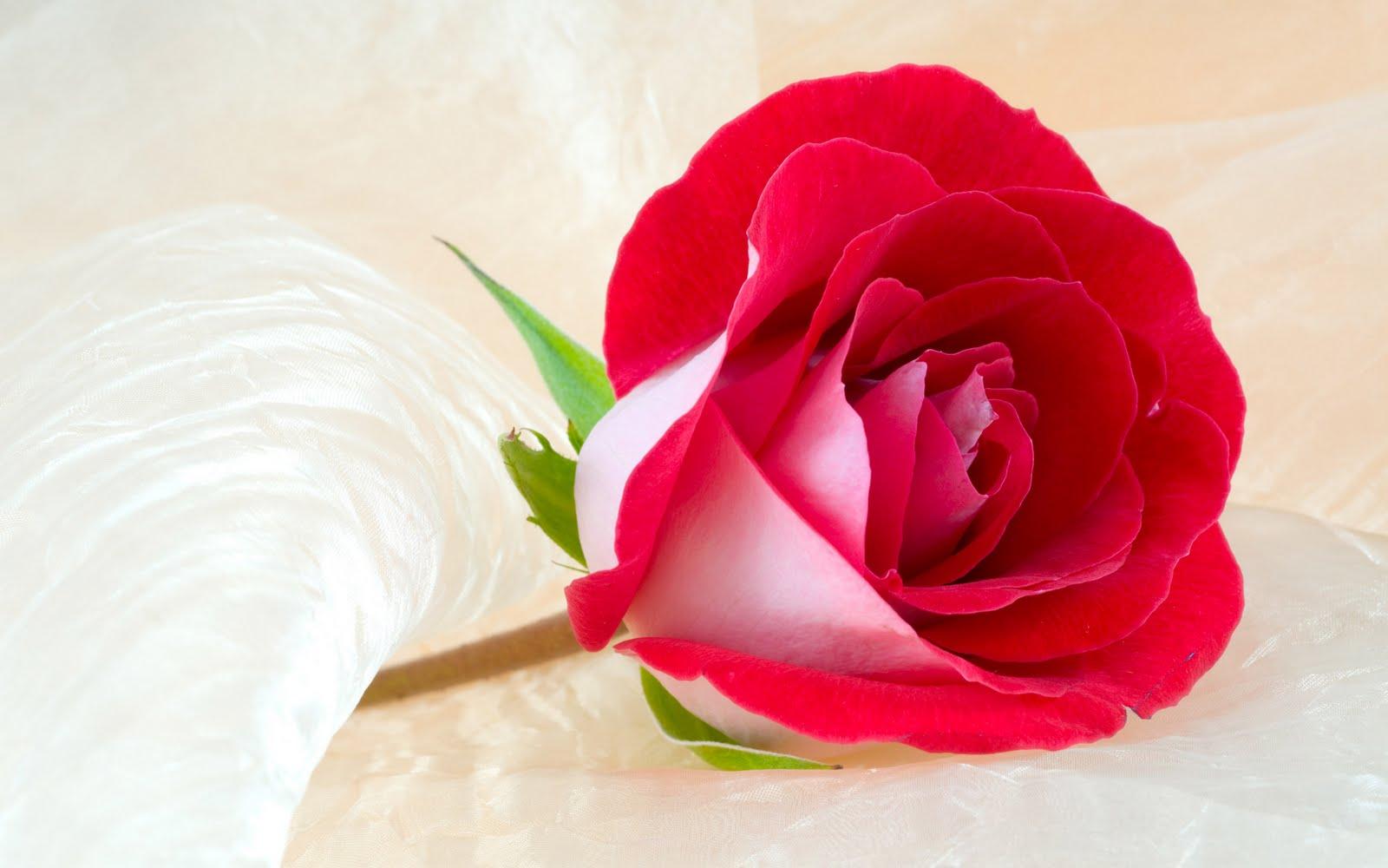 red rose love wallpaper 1600x1000